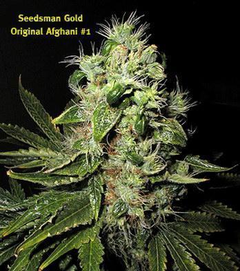 Quand récolter nos plants de cannabis? | domhertz.com