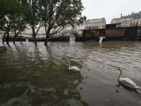 This photo shows barges and swans on the river Seine on Quai de la Tournelle after its banks became flooded following heavy rainfalls on May 31, 2016 in Paris. France's weather agency Meteo France maintained today 18 departments under orange alert for heavy rainfalls, which have already disrupted transports in the northeastern part of the country. / AFP PHOTO / JOEL SAGET